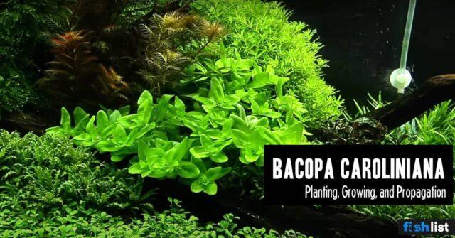 Bacopa Caroliniana Care Guide – Planting, Growing, and Propagation
