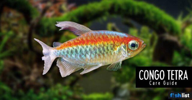 Congo Tetra Complete Care Guide