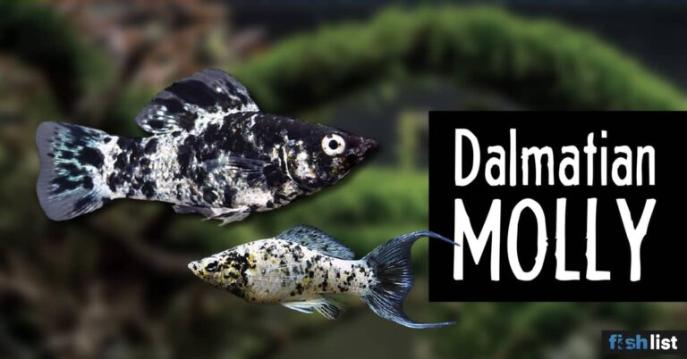 Dalmatian molly Complete Care Guide