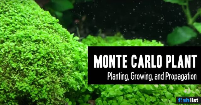 Monte Carlo Plant Care Guide – Planting, Growing, and Propagation