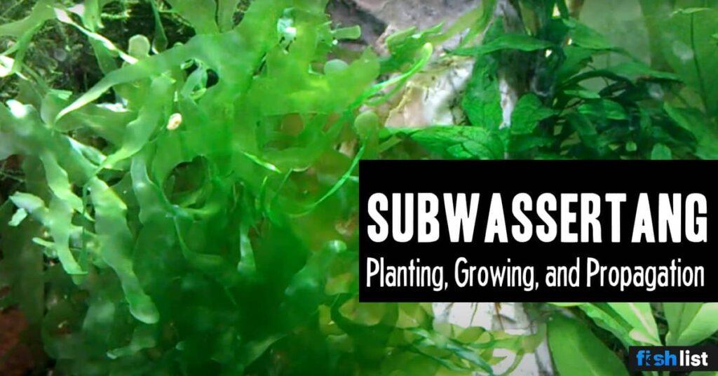 Subwassertang