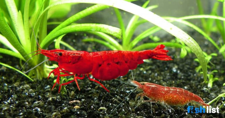 bloody mary shrimp Complete Care Guide