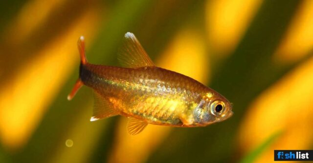 silver tip tetra Complete Care Guide