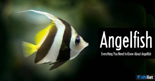 Angelfish complete Care guide, Size, Life Span, Tank Mates, Breeding