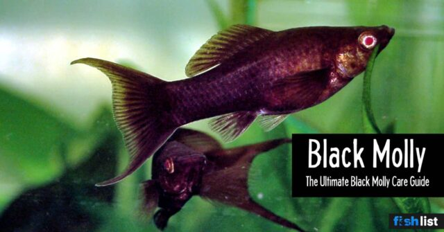 Black Molly: Care Guide, Diet, Tank & Breeding And More …