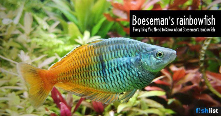 Boeseman's rainbowfish Care, Lifespan, Feeding, Algae Eating, Size..