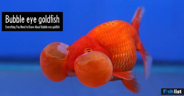 Bubble eye goldfish: Care, Tank Mates, Breeding & More