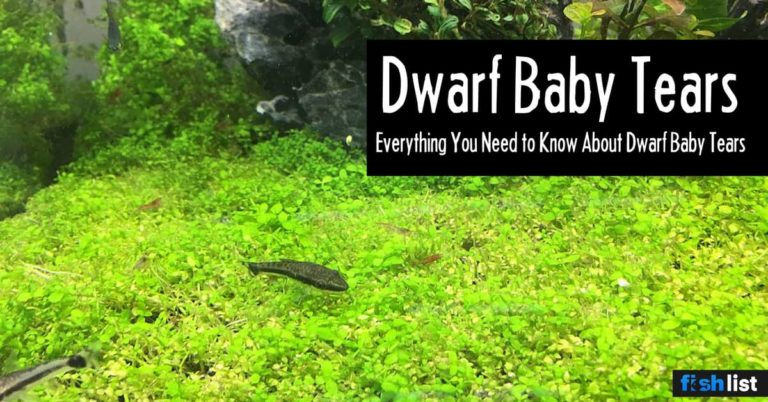 Dwarf Baby Tears (Hemianthus callitrichoides) Care Guide – Planting, Growing,…