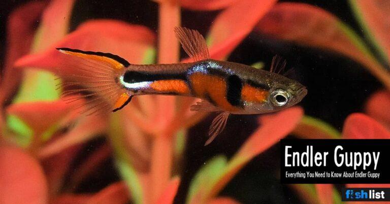 Endler Guppy: Care, Lifespan, Feeding, Algae Eating, Size, …