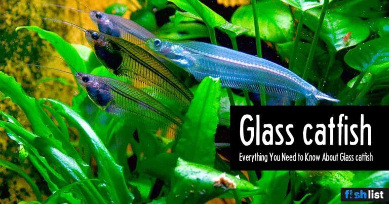 Glass catfish Care Guide: Tank Size, Tank Mates, Lifespan, Diet