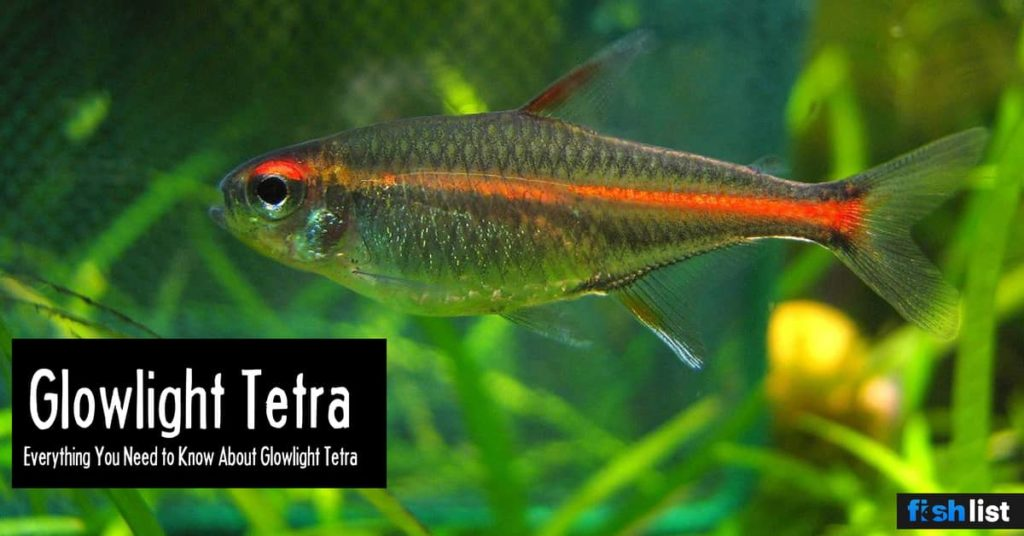 Glowlight Tetra