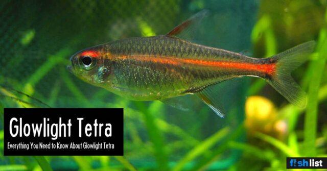Glowlight Tetra: Care, Lifespan, Feeding, Algae Eating, Size..