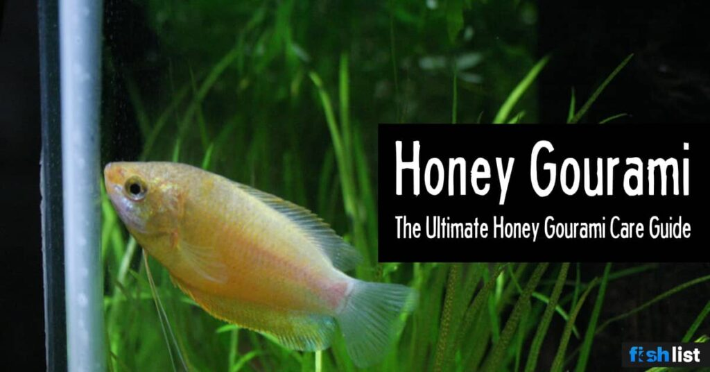 Honey Gourami