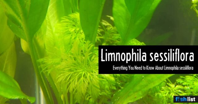 Limnophila sessiliflora (Ambulia) Care Guide – Planting, Growing, and Propagation