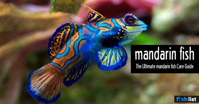 Mandarin fish (Dragonets) Care Information