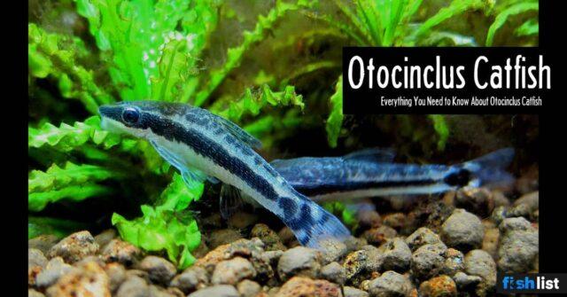 Otocinclus Catfish: Care, Food, Size & Algae Eating and more