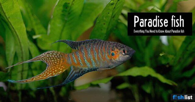 Paradise fish: Care, Tank Mates, Breeding & More