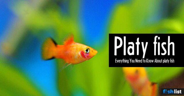 Platy Fish Care Guide – Feeding, Breeding, and Tank Mates