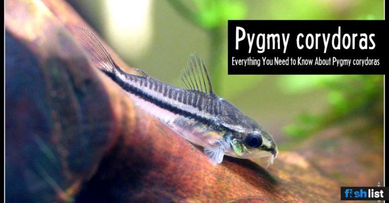 Pygmy corydoras: Care, Lifespan, Feeding, Algae Eating, Size..