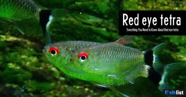 Red eye tetra Care guide – Size, Life Span, Tank Mates, Breeding