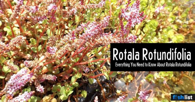 Rotala Rotundifolia Care Guide – Planting, Growing, and Propagation