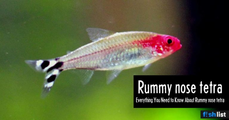 Rummy nose tetra: Care, Lifespan, Feeding, Algae Eating, Size..