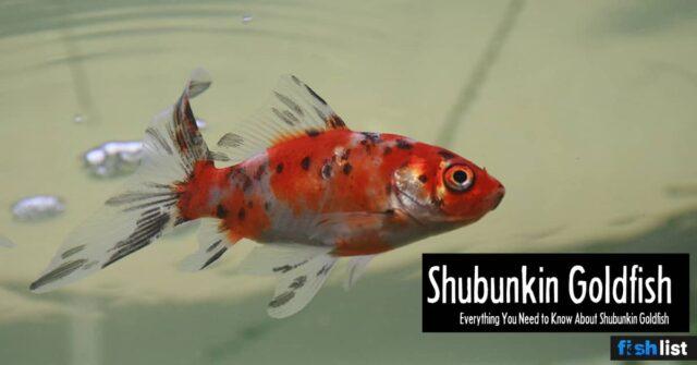 Shubunkin fish Care Guide: Tank Size, Tank Mates, Lifespan, Diet