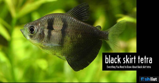 Black Skirt Tetra: Care, Tank Mates, Breeding & More