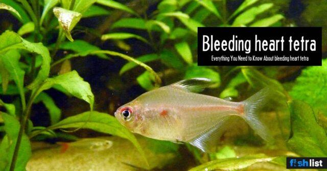Bleeding heart fish: Care, Tank Mates, Breeding & More