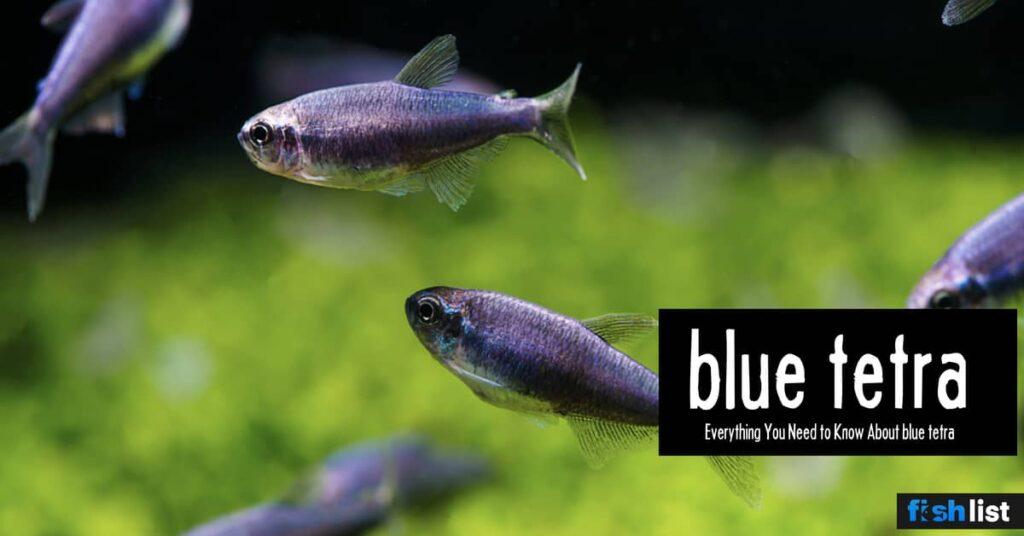 blue tetra