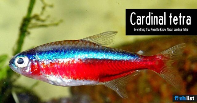 Cardinal tetra Care guide – Size, Life Span, Tank Mates, Breeding