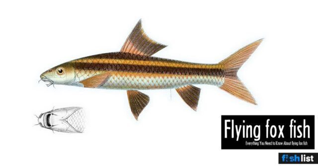 flying fox fish: Care, Food, Size & Algae Eating and more