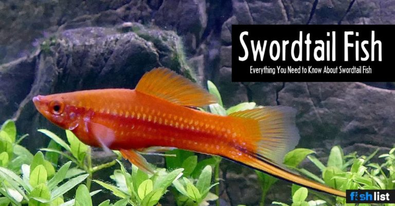Swordtail Fish Care Guide:  Lifespan, Feeding, Algae Eating, Size..