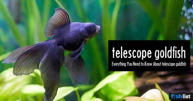 Telescope fish: Care, Tank Mates, Breeding & More