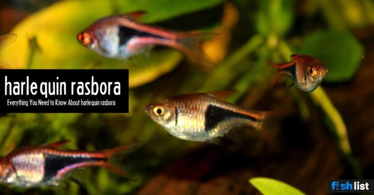 harlequin rasbora: Care, Lifespan, Feeding, Algae Eating, Size..