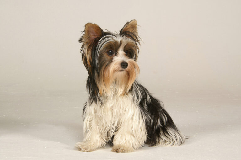 Biewer Terrier: Origin, Characteristics, Care, Health and Images