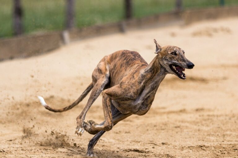 Greyhound Dog Breed Information, Pictures, Characteristics …