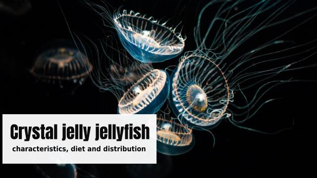 Crystal jelly jellyfish: characteristics, diet and distribution