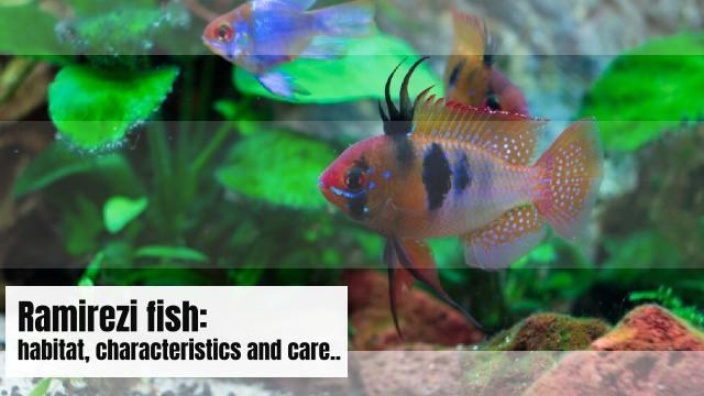 Ramirezi fish: habitat, characteristics and care..
