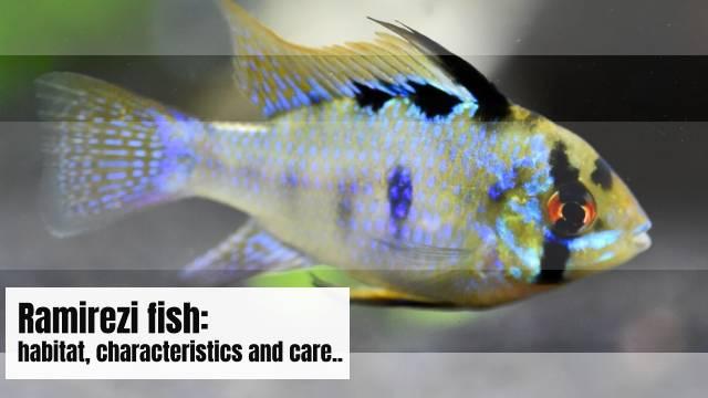 Ramirezi fish