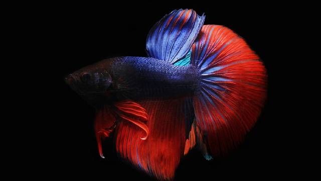 Dragon Betta Fish: Care, Feeding, Breeding and Pictures