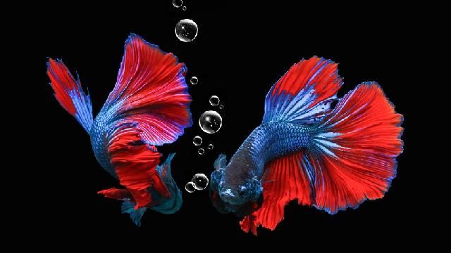Dragon Betta Fish