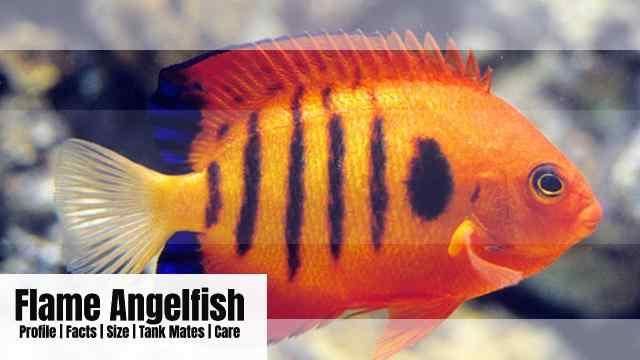 Flame angelfish: habitat, characteristics and care
