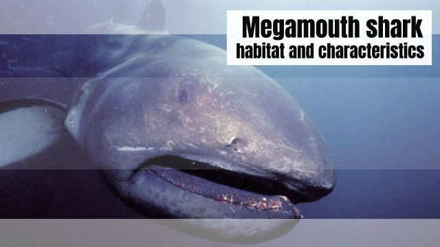 Megamouth shark: Characteristics, types, habitat and more…