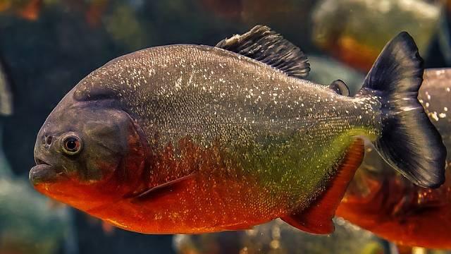 Aquarium piranhas: Are they a good choice as a pet?