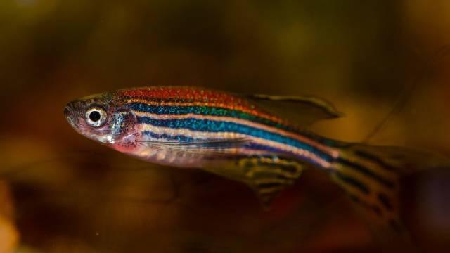 Zebrafish (Danio rerio): Care, Feeding, Breeding and Pictures