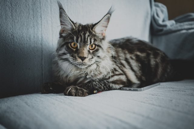 Maine Coon Cat: Full Profile, History, and Care
