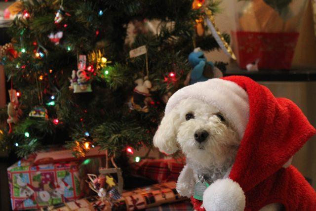 Maltese Bichon Dog Breed Health, Temperament, Feeding – PetGuide